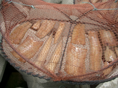 小浜町の穴子(アナゴ)の干物干し1