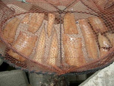 小浜町の穴子(アナゴ)の干物干し2